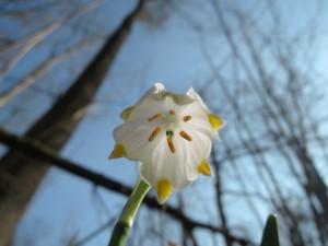 Der Märzenbecher (Leucojum vernum) ist schon verblüht. Blick in die hängende Becherblüte aus der Froschperspektive.