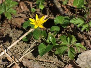 Am 20. März ist auch schon das Scharbockskraut (Ranunculus ficaria) aufgegangen.