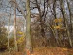 Ein schöner Anblick im herbstlichen Auwald. Das Gold des Ahornlaubs weist aber darauf hin, dass die Bedingungen der Hartholzaue für Eiche, Esche und Ulme durch fehlende Frühjahrshochwasser schwer gestört sind
