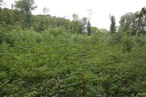 Aufforstung mit Schwarznuss im FFH-Gebiet Leipziger Auwald