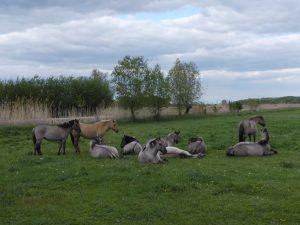 Przewalski-Pferde in von ihnen gestalteter, fast schon savannenartiger Landschaft bei Koethen 2019