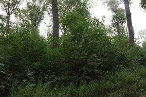 Mittelwaldversuch in der Burgaue