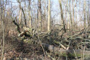 Umgestürzte Bäume im Leipziger Auwald