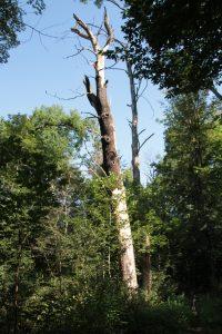 Abgestorbene Bäume im Ratsholz