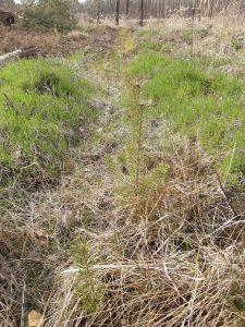Aufforstung mit Nadelbäumen in der Noitzscher Heide