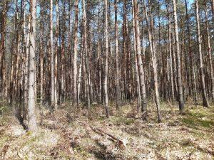Fichtenmonokultur Dahlener Heide