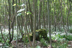 Bergahorn auf der Mittelwaldfläche