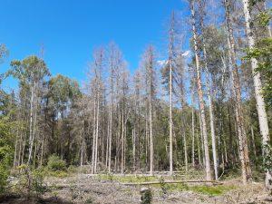 Fichten Dübener Heide
